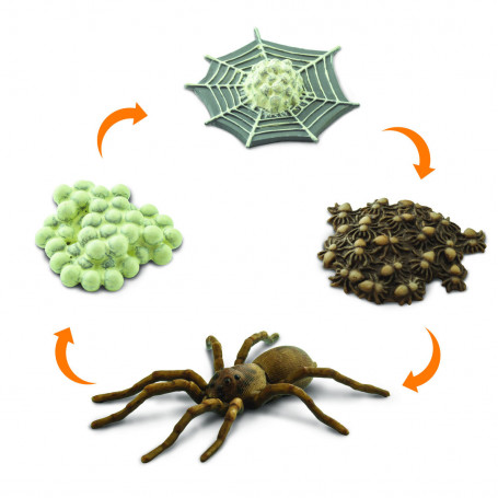 Safari 100406 Life Cycle of a Spider